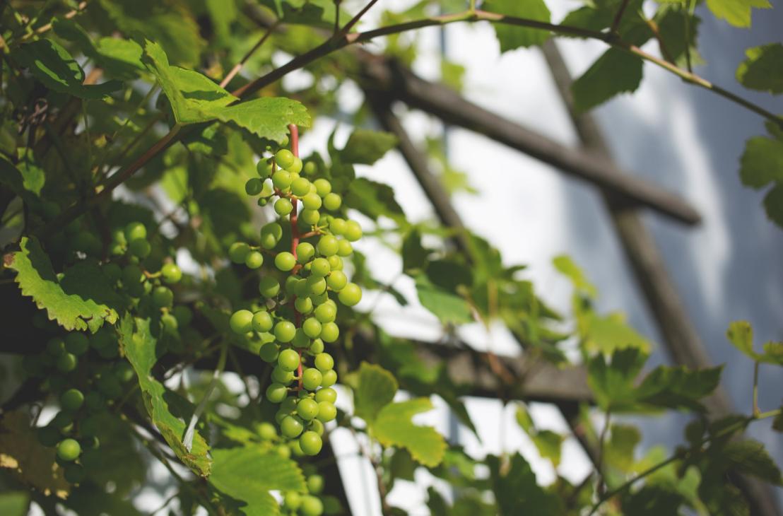 planter des raisins