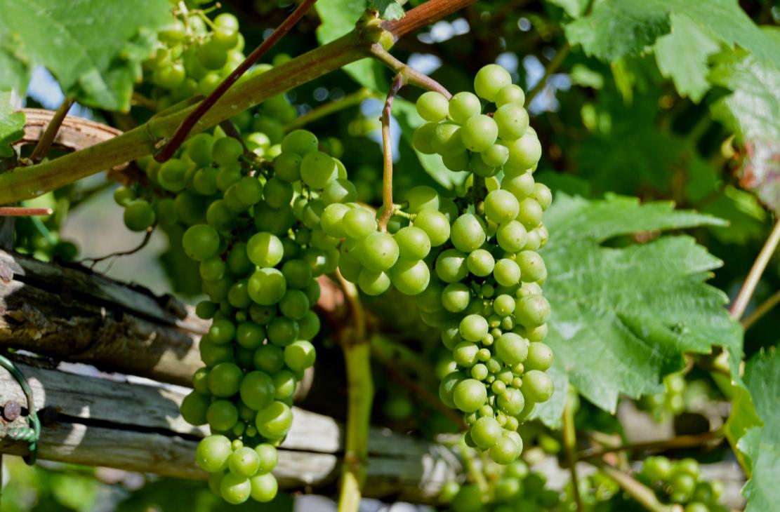 comment faire pousser des raisins dans votre jardin