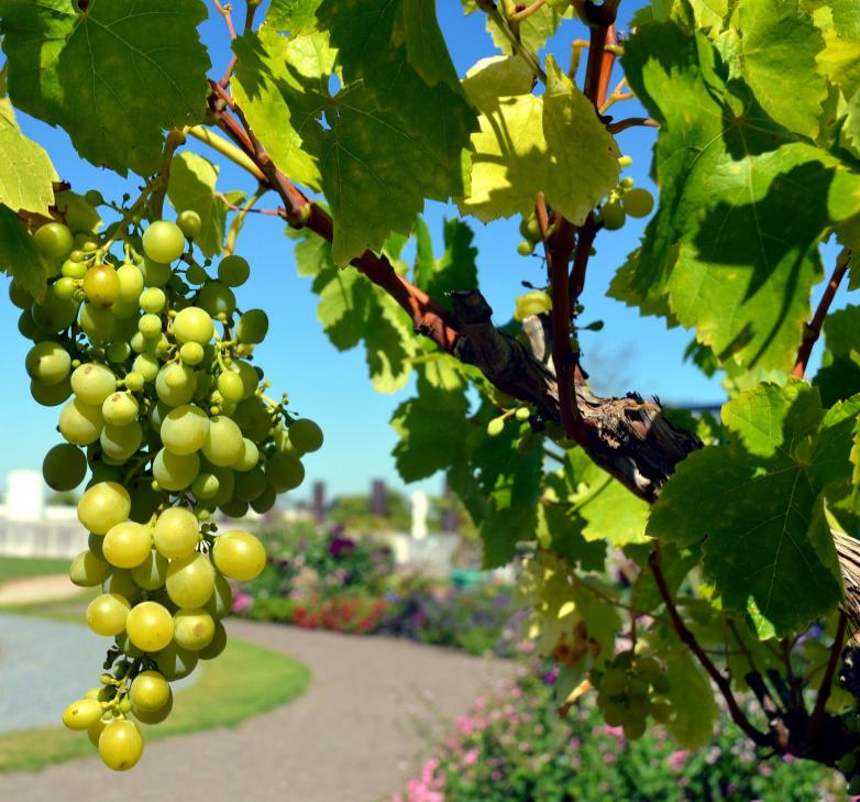 prévoir suffisamment de place dans votre jardin pour assurer une croissance saine de la vigne