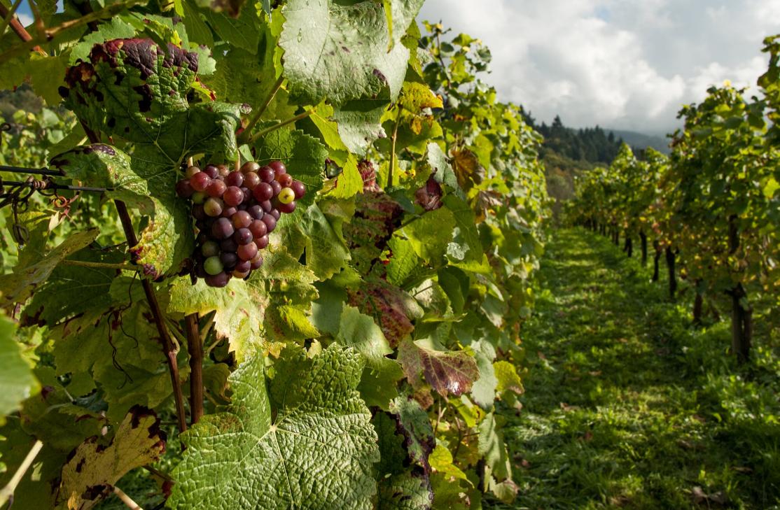 planter des raisins biologiques