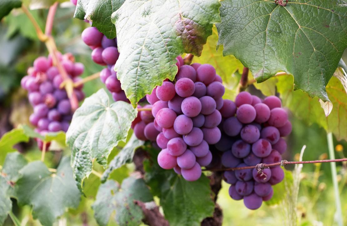 techniques de taille pour votre variété de vigne