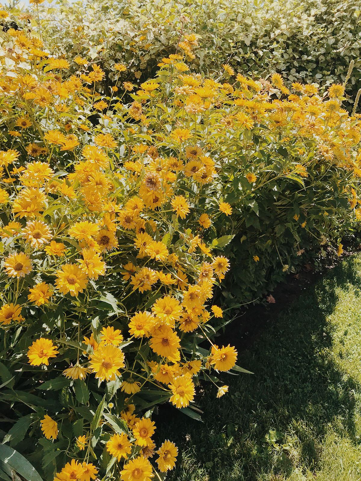 fleurs jaunes dans le jardin   Coco Kelley